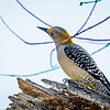 This Golden-fronted Woodpecker is actually from Mexico.  When I first got a good look at this bird I was ecstatic because not only was it a first for me, but I never expected to see it. This is a female as the male has a red spot on the top of his head.  This is another bird with a red eye, but it is hard to see in this photo.