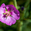 Copper Globemallow.  This was the first time I had seen this variety of Globemallow.