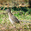 Did you know the Roadrunner eats mostly animals such as small mammals, reptiles, frogs, toads, insects, centipedes, scorpions, and birds?  If they can catch it they will eat it.  They also eat seeds and fruit, but they don't have to drink water as long as they can catch and eat their primary prey.