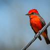 This was my first Vermilion Flycatcher so I was excited as usual.