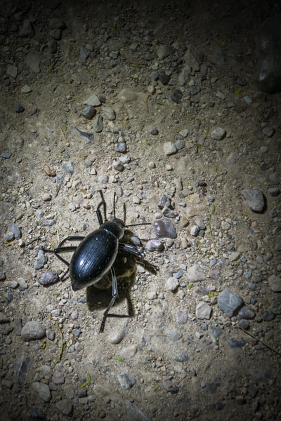Darkling Beetle scaveging in the dark just before we got back.