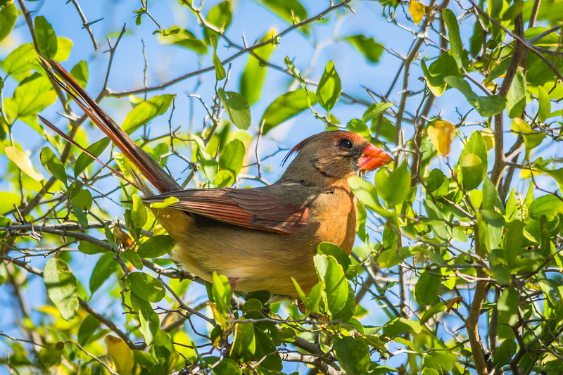 This female Northern Cardinal paid a visit just before it was time to head out to the Boquillas Canyon Trail.