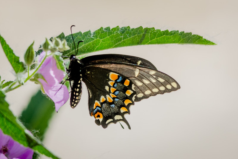 Black Swallowtail Butterfly on Copper Globemallow