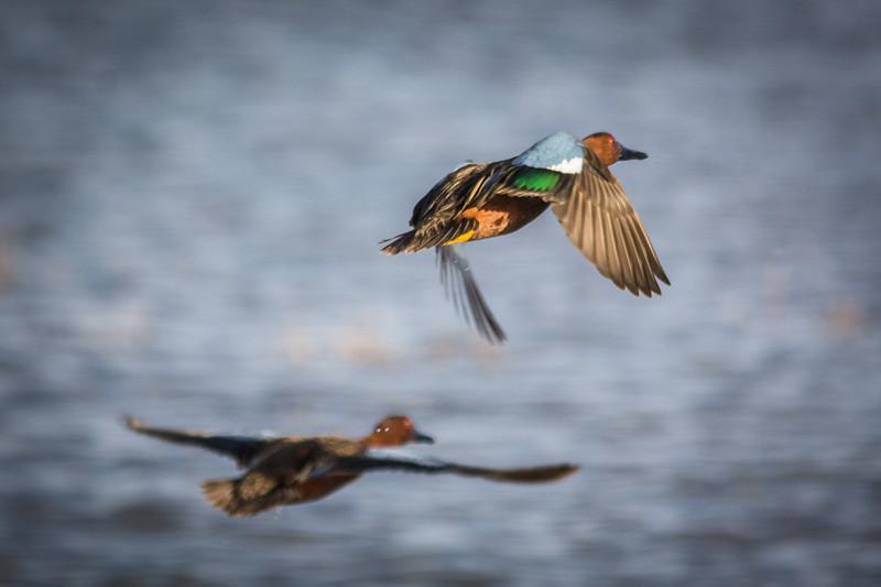 Male and female Cinnamon Teal Ducks in flight