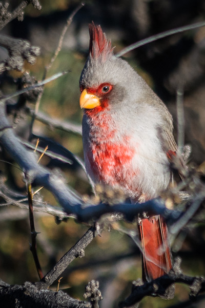 This Pyrrhuloxia looks a little like a female Northern Cardinal, but it is a completely different bird.