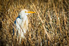 This Cattle Egret was picking his way through tall reeds.
