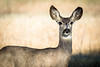Curious Mule Deer Doe