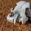 The desert often preserves skeletons for many years.