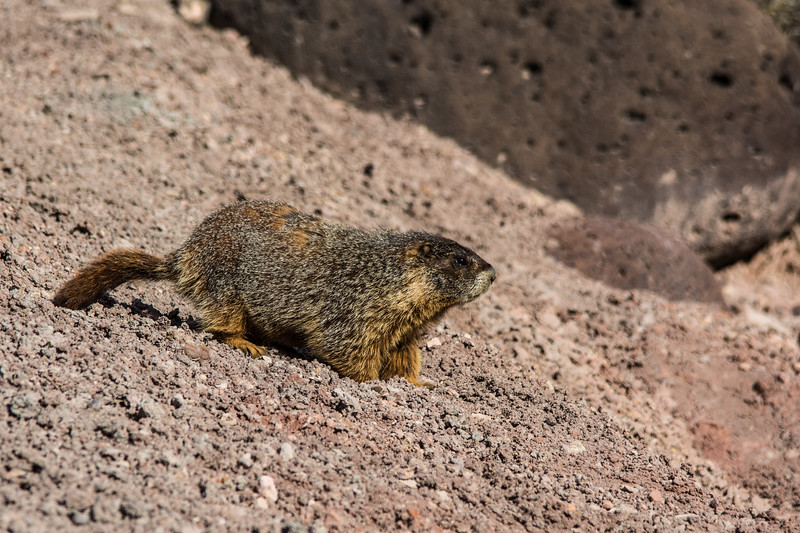 Another Yellow-bellied Marmot