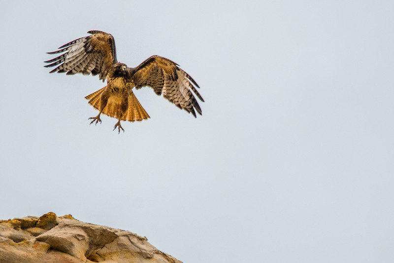 Western Red-tailed Hawk taking off
