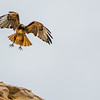 Western Red-tailed Hawk about to land