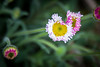 This looks like an aster, but I have not yet identified it.  I love the colors though.