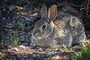 Desert Cottontail.  Then it was off to our next stop.
