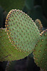 There are several varities of Spineless Prickly Pear Cactus.