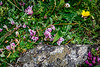 Here there are at least four different wildflowers in one frame. What is truly amazing to me is that these beautiful flowers form a carpet of ground cover over acres at this elevation.