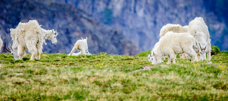 The young Mountain Goats were obviously on their first coat of fur.