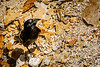 This American Crow looks for insects among the rocks.