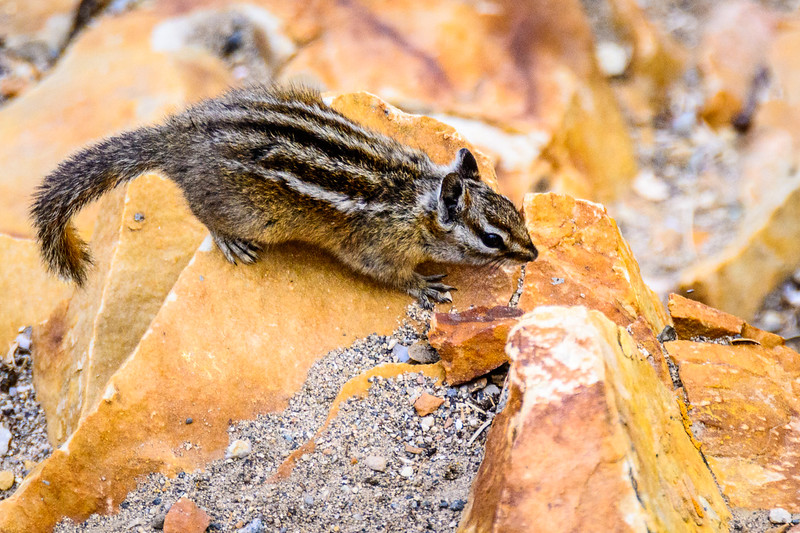 The Least Chipmunk appreciates a handout, but doesn't wait around for one.  He is moving almost constantly in search of food.
