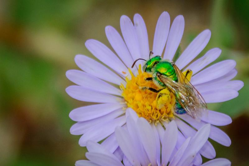 Metallic Green Sweat Bee, male, on Alpine Aster