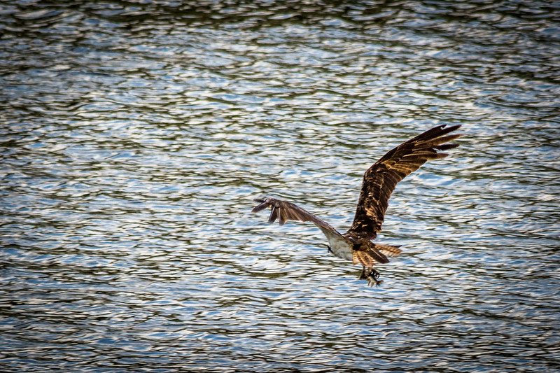 Osprey with a fish he just caught