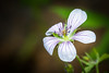Richardson's Geranium is a native variety commonly found in the West.