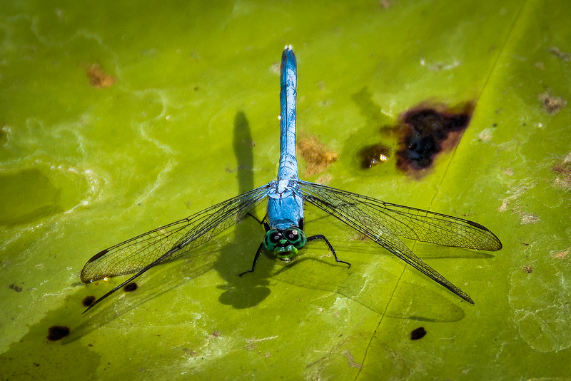 Dragonfly with unusual looking mouth