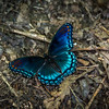 Brilliant Red-spotted Purple Butterfly