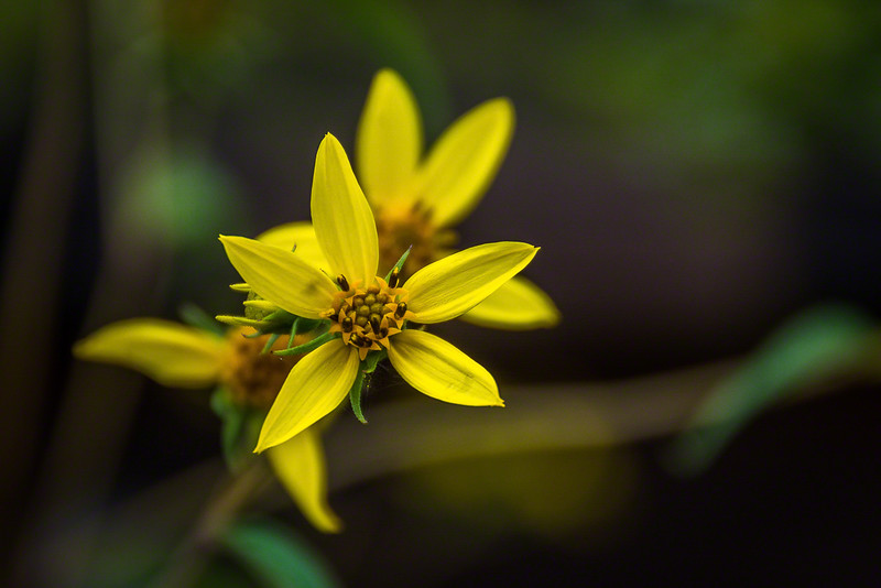 Some variety of Woodland Sunflower