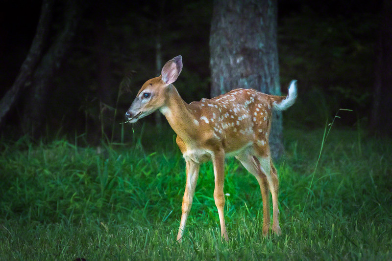 There are lots of deer in the park so there are lots of fawns.