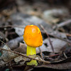 Yellow Patches Mushroom