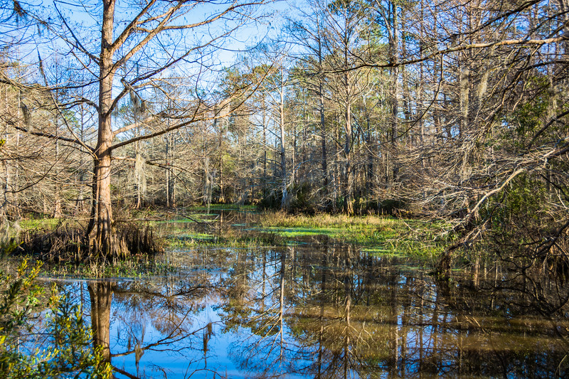 Example of a swampy part of the bayou where Cypress Trees dominate.  The Bald Cypress is the Louisiana State Tree.