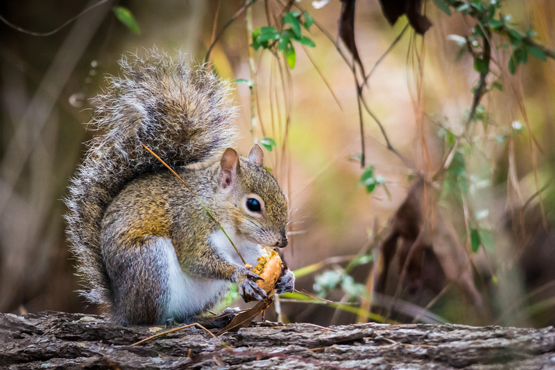 I enjoyed watching this Eastern Gray Squirrel munch on  a mushroom cap with a pine needle tucked over his shoulder.