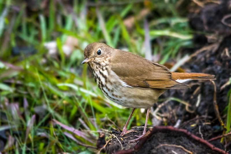 It was great watching this Hermit Thrush look for dinner because I had not seen one of these in about three years.