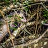 Opossum in the tree