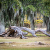 When the huge Southern Live Oak trees die they are often left as a form of natural architecture in the park. There's no telling how many times this dead tree has been photographed.