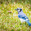 I found a pair of Blue Jays in a corner of the park.