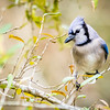 This is the mate to the other Blue Jay.