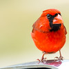 The Northern Cardinal that likes to peck at images of himself came back and pecked at his reflection in the RV mirrors.