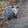 On the way back to the RV we spotted this young Opossum cleaning up something on the side of the road.
