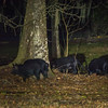 This is the rest of the crew. These wild pigs may become a problem in the park because they dig up so much soil.