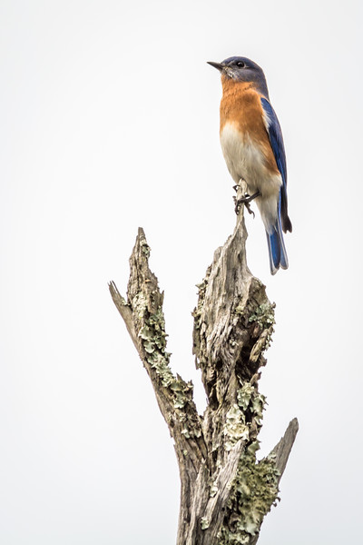 We seem to encounter the Eastern or Western Bluebird everywhere we go. This Eastern Bluebird has a commanding view of the park.