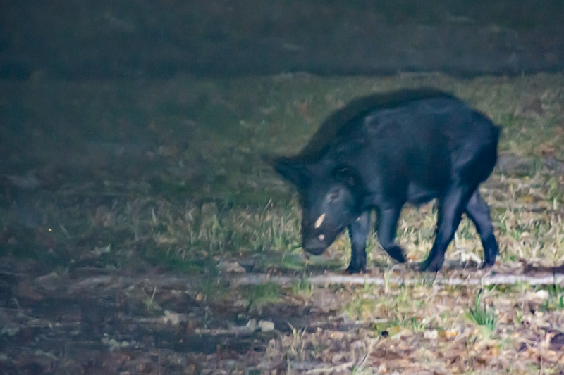 That evening we finally saw the wild pigs.  This young boar has menancing tusks emerging.