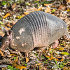Armadillos are challenging to photograph because they keep their snouts in the dirt looking for bugs, grubs, and worms.  They can't see very well, so they use their nose to find food.