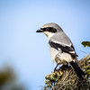 I was so excited to see this Loggerhead Shrike.  Another first!  Since then I've seen several, but the first is the one you remember the most.