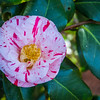 We found a nearby park that had a variety of Camellias in bloom.