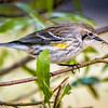 This Yellow-rumped Warbler caught a Sandfly.