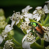 Japanese Beetle on Crownbeard