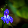 Blue Cardinal Flower in the rain