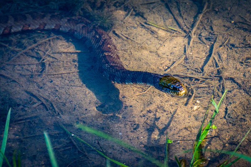 Harmless water snake.  Also an expert baby trout fisherman.
