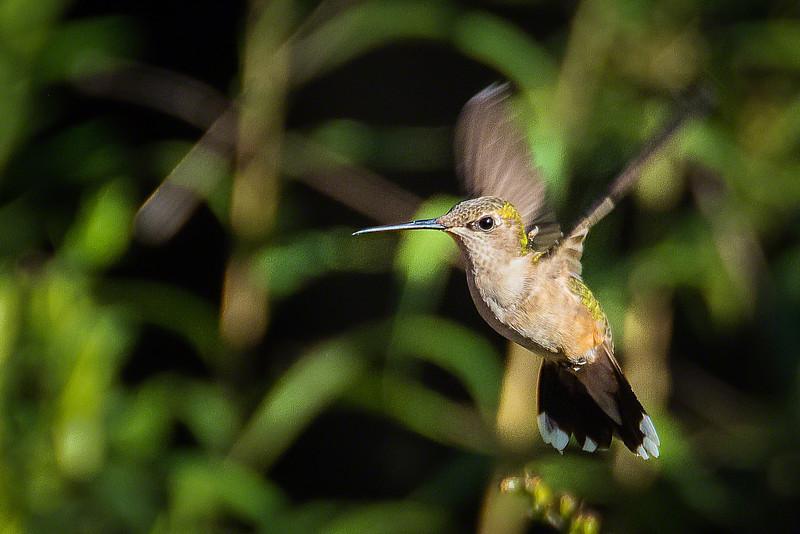 Ruby-throated Hummingbird in flight - female